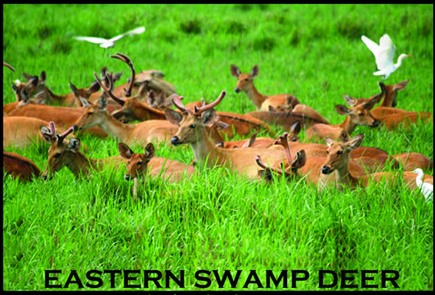 ONGC-Eastern Swamp Deer Conservation Project