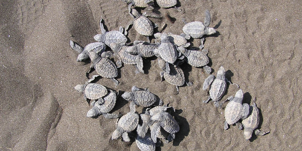 Community-based-Conservation-of-Olive-Ridley-Turtle-in-Maharashtra,-India