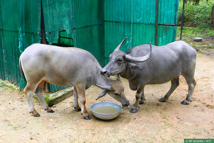 The Central India Wild Buffalo Recovery Project